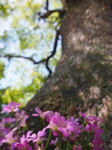 境内ご神木の下に咲くカタバミ